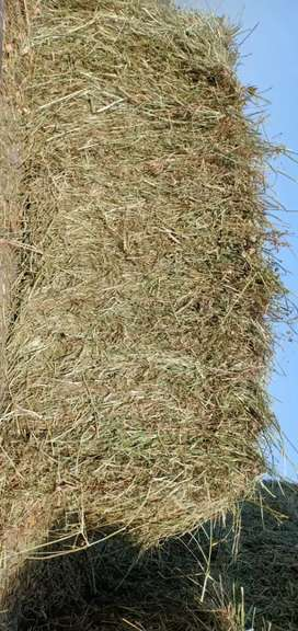 Losan Hay for sale eating for gout and hourse