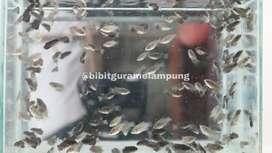 Bibit benih ikan lampung #230