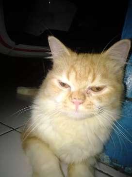 Kucing persia 7 bulan