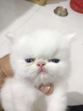 Persian Extreme Punch Face White Kitten
