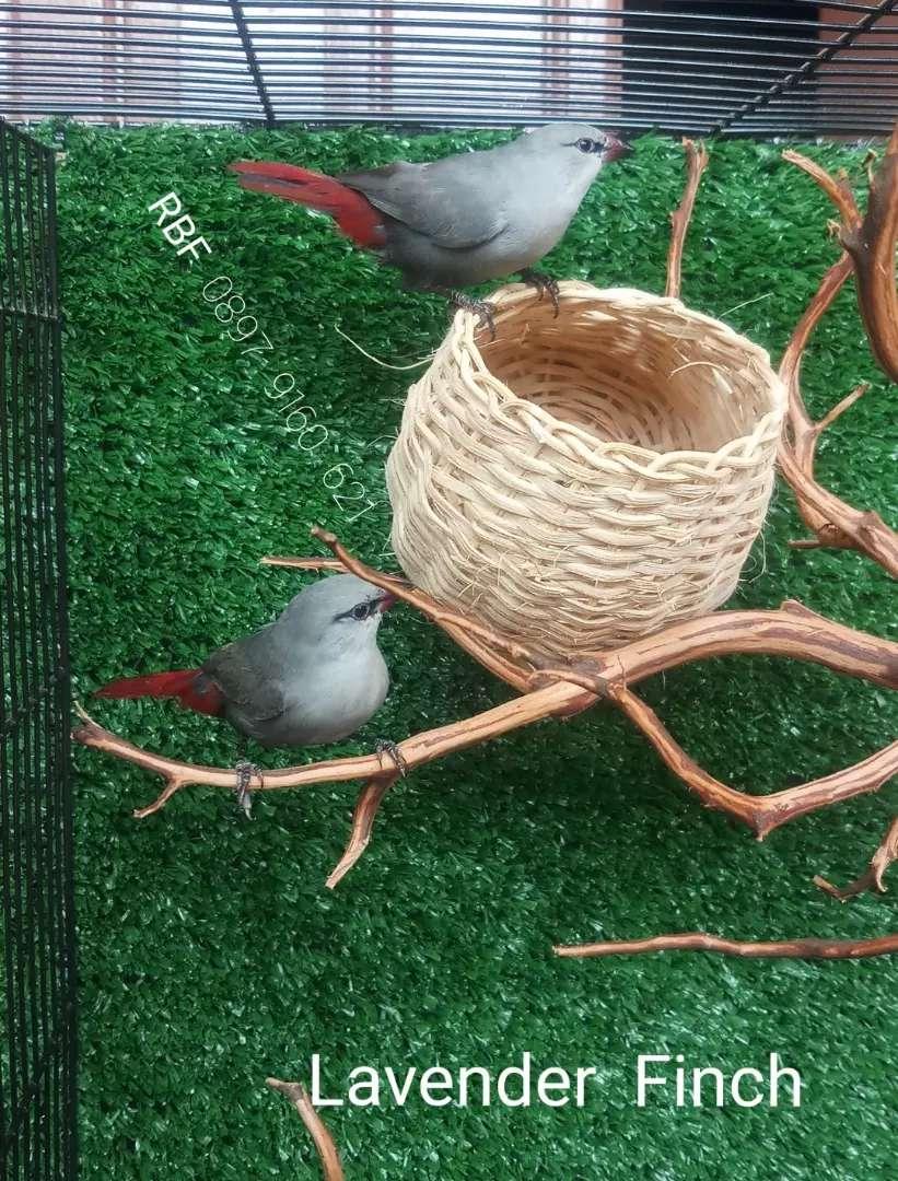 Burung import africa lavender finch sepasang 0