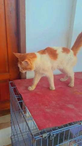 Di jual kucing maine coon campuran persia