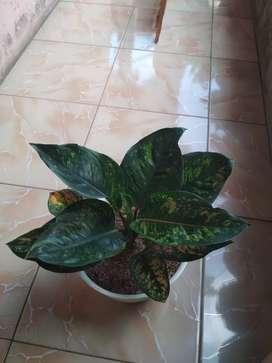 Tanaman hias aglonema back heng-heng jumbo bogor