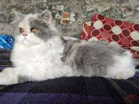 Persian Calico female 3 month age