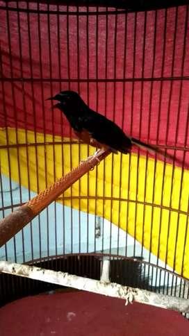 Burung muray medan prestasi