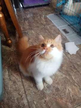 Kitten persia jantan big bone 5bln