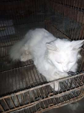 White Persian male dot eyes is 8 month