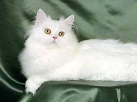 Male Cat Double Coated White Fresh and Healthy