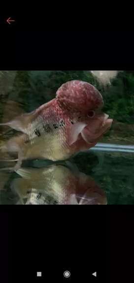 Ikan louhan anakan murah