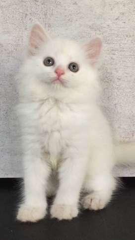 Sandy - Kucing Persia 2,5 Bulan Jantan