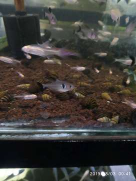 ikan black phantom buat aquascape