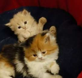 Persion kittens all breeds I have all colors