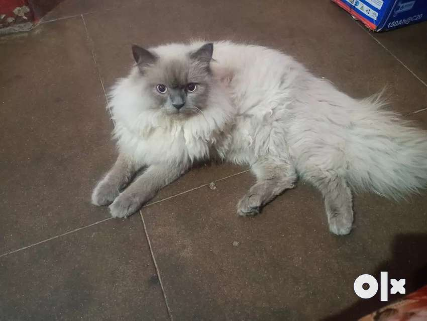 Himalyan male cat 0