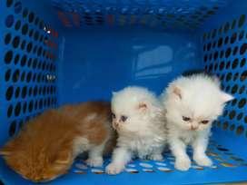 Male female  white Golden  Persian cat sale