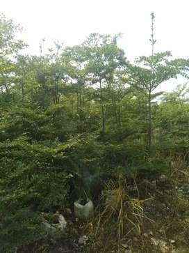 Jual tanaman ketapang kencana-pohon ketapang kencana tinggi 3meter