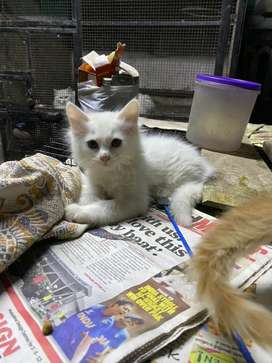 White persian cat for sell
