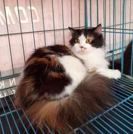 Lepas adopsi kucing persia betina 11 bln