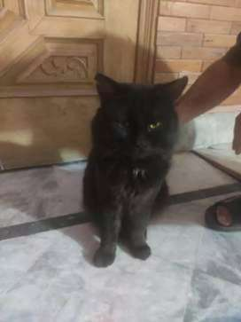 Persion Cat For Sale