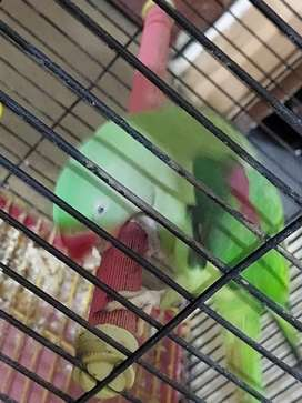 Raw parrot for sale (home bread)