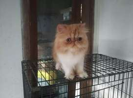 A1 quality Persian kitten for