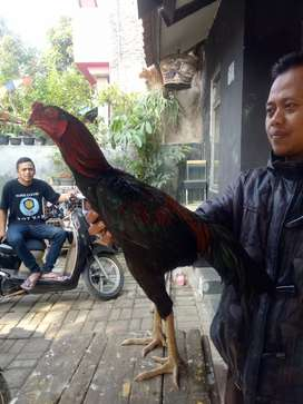 Jual ayam petarung muda
