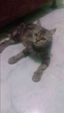 Kucing blasteran anggora persia