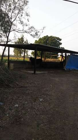 Cattle farm for rent