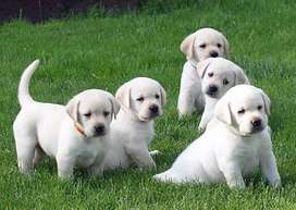 Super champion blood line top pedigree labrador pups available