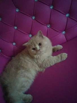 Triple Coat Pure Russian Male Cat For Sale Or Exchange just as Lion