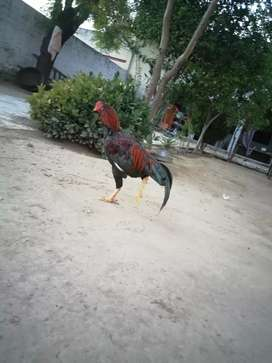 Cock for sell