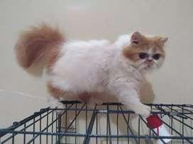 Kucing persia longhair good qualty