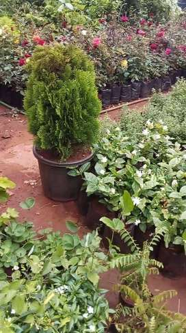 Money Plant - Rs 60 , Other plants are also available, price varies