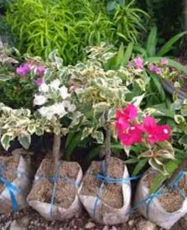 Pohon hias bunga bugenvile