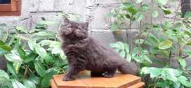 Kucing persia medium jantan blacksolid lucu