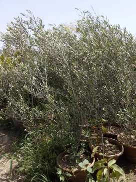 OLIVE PLANTS IMPORTED.
