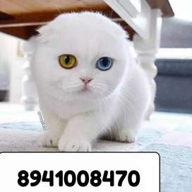 100 percentage pure Persian kitten for sale