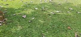 Rumput Tanaman Hias Halaman Rumah.Halaman Kantor Dan Lapangan