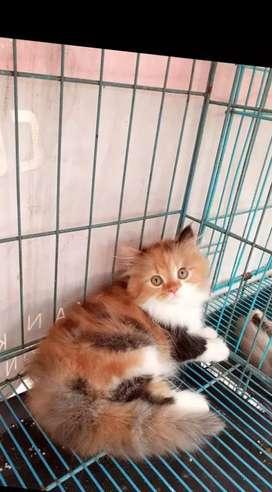 Lepas adopsi kitten persia 3 bulan jenis kelamin betina