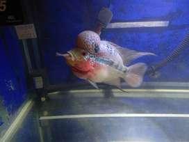Ikan Louhan Srd ukuran 3 - 4 jarian