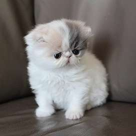 Punch face Persian kitten for sale