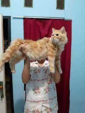 Kucing Persia warna oranye