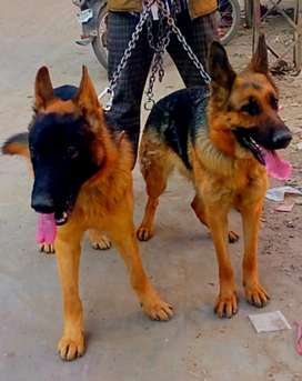 Jerman shefrd pair for sale adult