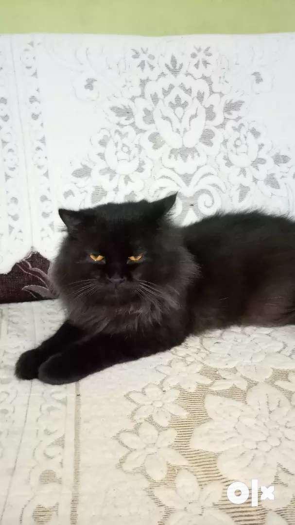 Persian cat urgent sale 0
