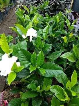 Nego Bibit Cangkok Bunga Jempiring