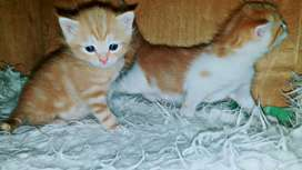 Persian Cat's Kittens Double Coated
