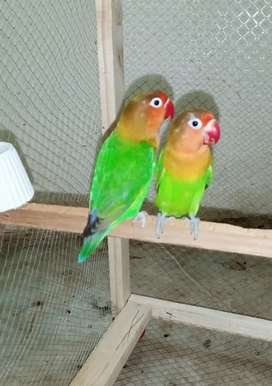 Fisher parrot