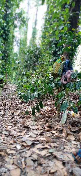 With pepper and coffee plants with house