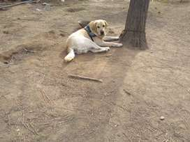 Quality labrador Male available for stud service