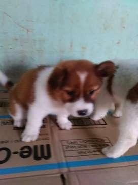 puppies jenis kecil lucu2