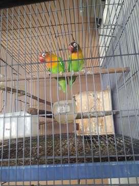 Lovebird ijo dewasa sepasang + kandang